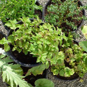 Vivaces biologiques, origan bio, sauge officinale bio, rhubarbe bio, consoude bocking 14 bio