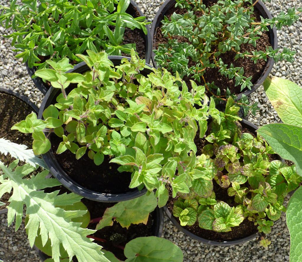 Plant d 39 origan bio mon potager bio plante aromatique for Entretien jardin questembert