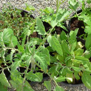Plants potagers biologiques - Plants de légumes biologiques, aubergine violette de Bretagne bio, courgette Petite Grise de Provence bio, poivron rouge California Wonder bio plant de concombre Helena bio